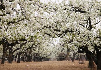 春到北京赏花季 大兴梨花朵朵开