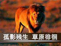草原流浪雄狮回家记