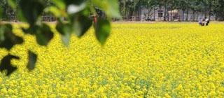 在北京看油菜花 布拉格农场初夏赏花指南