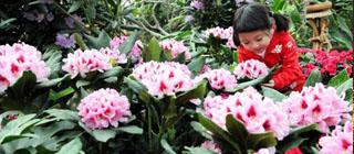 告别猫冬赏花去 世界花卉大观园高山杜鹃怒放