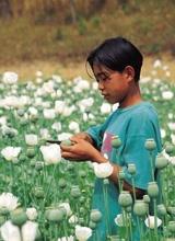 白色罂粟花开遍金三角