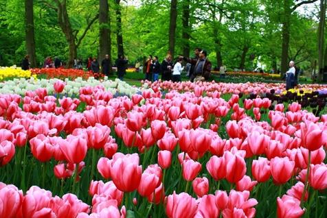 荷兰Keukenhof 郁金香花园