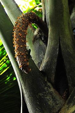 椰子树简笔画-泡