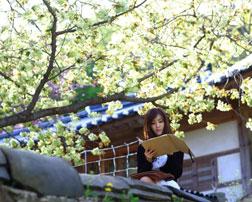 韩国春季花旅游