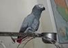 鹦鹉提醒主人吃饭 被训后唱歌解围