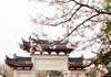 南京鸡鸣寺樱花盛放 美到让你窒息