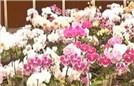 女子顺走2000万蝴蝶花