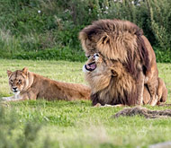 两头雄狮同性交配 母狮一旁看热闹