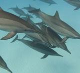鲸鱼海豚也会互相八卦