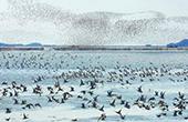 鄱阳湖进入最佳观鸟期