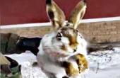 零下56℃野兔冻成冰棍