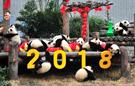 2017新生熊猫宝宝齐贺年